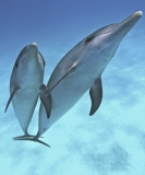 Playful Spotted Dolphins by Lazaro Ruda (United States)