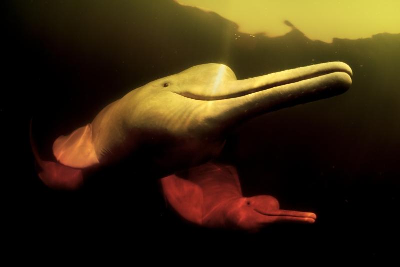 Delfín Río amazonas