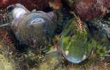 Molly Miller Blennies by Judy Townsend ()