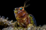 Blenny by ABIMAEL MARQUEZ (Puerto Rico)