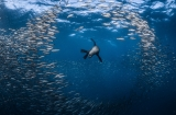 Sea lion in the bait ball by Greg Lecoeur ()