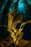 Kelp forest by Allison Vitsky Sallmon (United States)