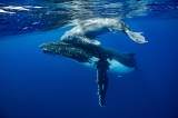 Humpback whale mom and calf by Heming Song ()