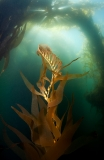 Kelp by Allison Vitsky Sallmon (United States)