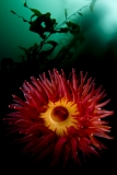 Red anemone by Andrew Sallmon (United States)
