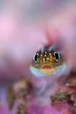Bokeh Triplefin Blenny by Will Clark (United Kingdom)