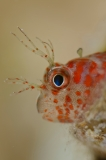 Baby Blenny by Mark Fuller (Israel)